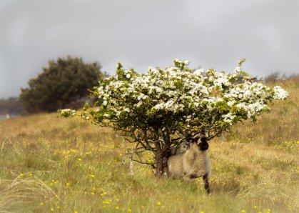 Schafe in den Dünen 1 (1 von 1)-w1280