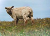 Schafe in den Dünen 3 (1 von 1)-w1280