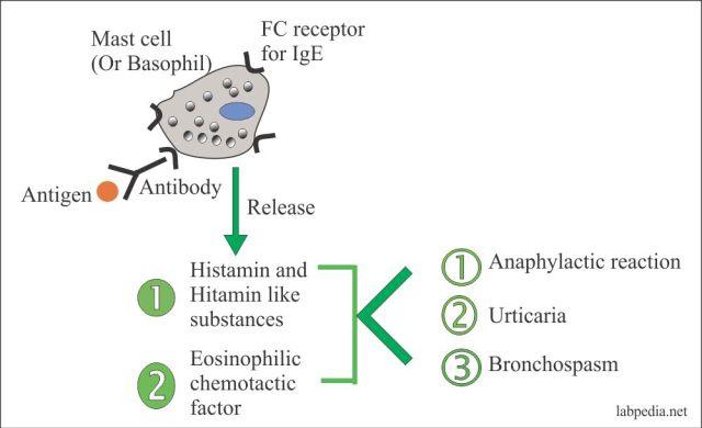 Immunoglobulin E (IgE) – Labpedia.net