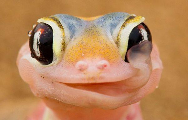 Asombrosa foto gekko bebiendo