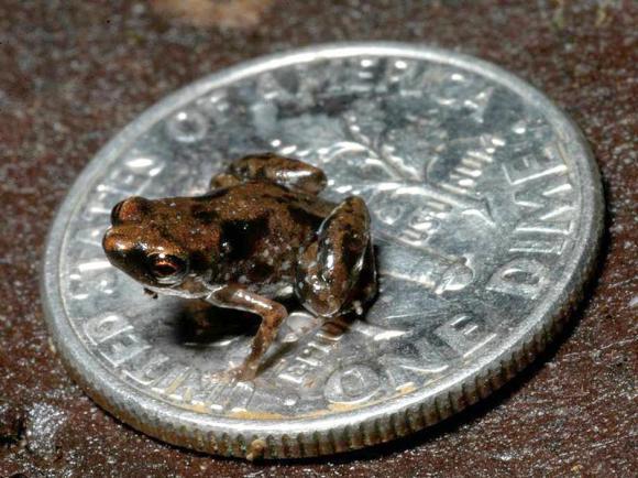 Rana vertebrado más pequeño mundo