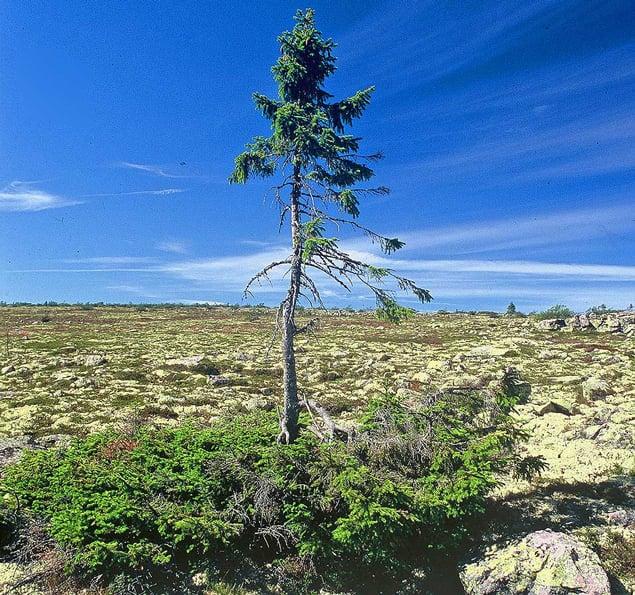 oldest-tree1