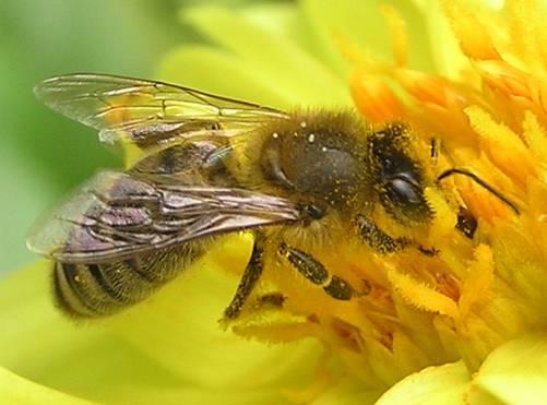 ¿Matan los teléfonos móviles a las abejas?