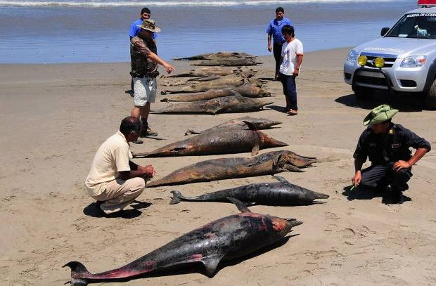 ¿Qué mata a los delfines y pelícanos de Perú?