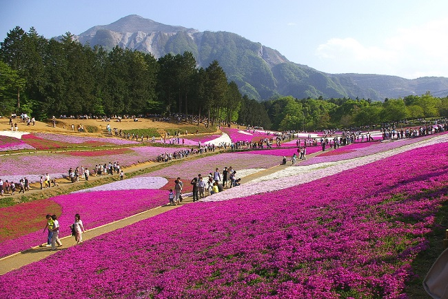 El musgo rosa del parque japonés de Hitsujiyama que huele a marihuana