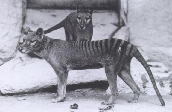 El último tigre de Tasmania vive en YouTube