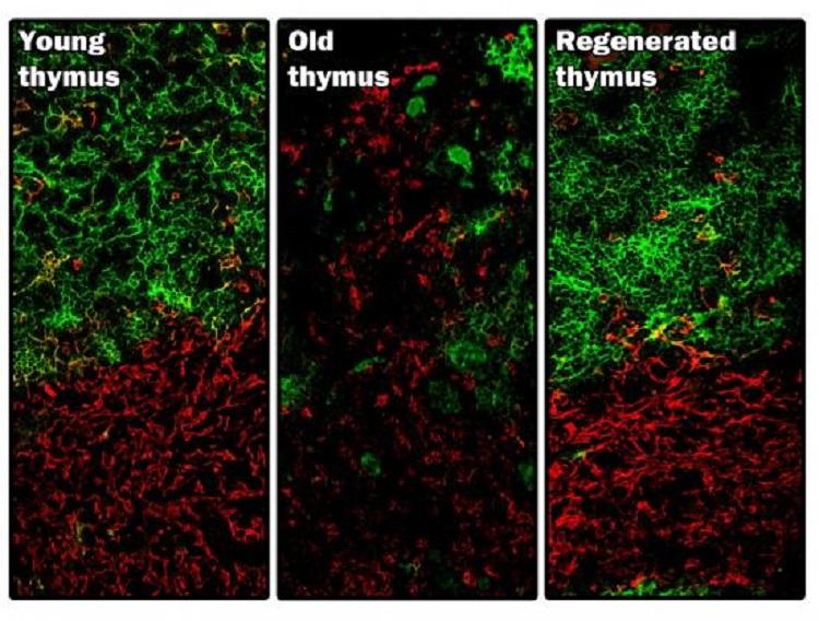 Científicos de la Universidad de Edimburgo logran regenerar un órgano vivo