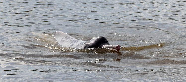 Descubren una nueva especie de delfín de río en Sudamérica 2