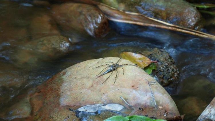 Descubren arañas que cazan y comen peces