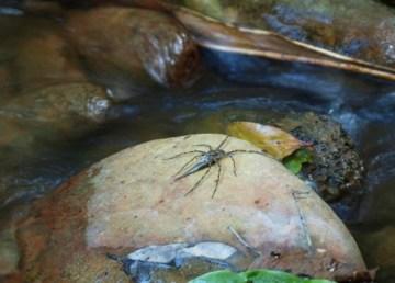 Descubren arañas que cazan y comen peces 3