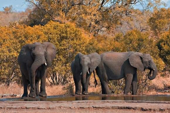 1280px-kruger_park_elephants_800x533