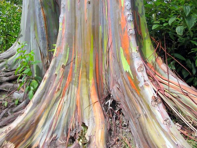 Fantasticos colores Eucalipto Arco Iris 2