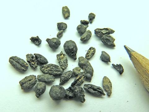 Semillas de las uvas del famoso Vino del Neguev bizantino, encontradas en una ciudad nabatea