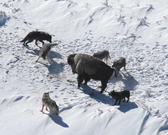 Se aliaron sapiens lobos contra neandertales 4