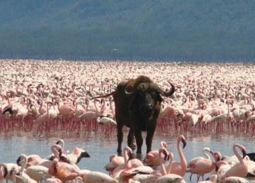 Lago-Nakuru-paraiso-aves