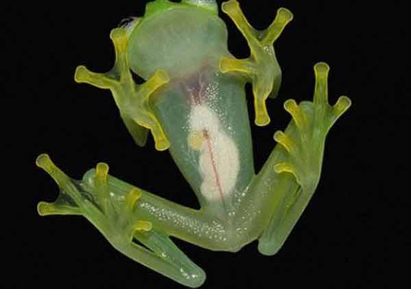 Glass_Frog_Kermit