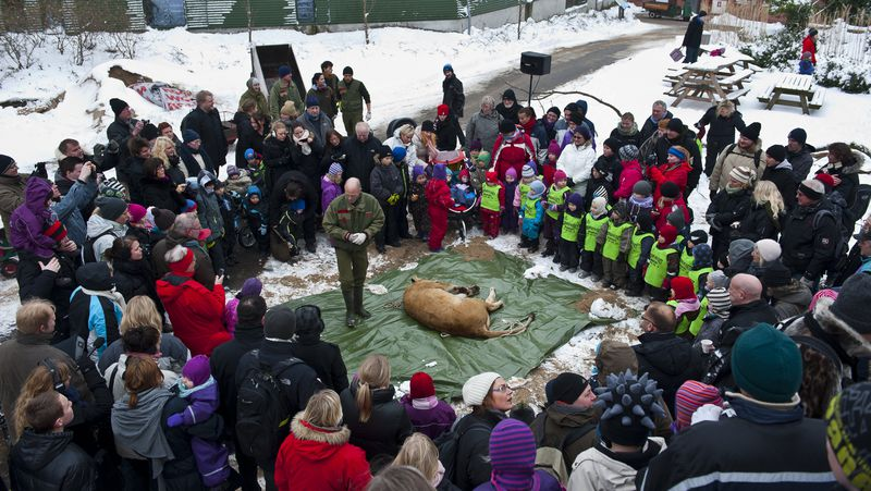 Disecciones públicas de animales para niños en Dinamarca como recurso educativo