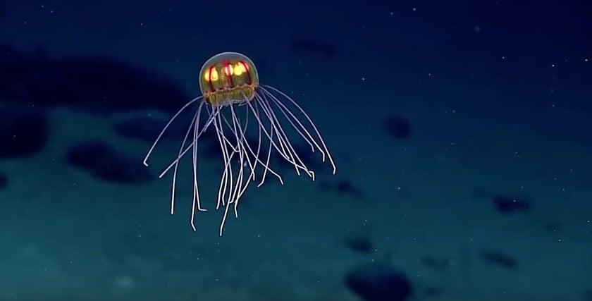 Una extraña medusa de aspecto surrealista descubierta cerca de la Fosa de las Marianas
