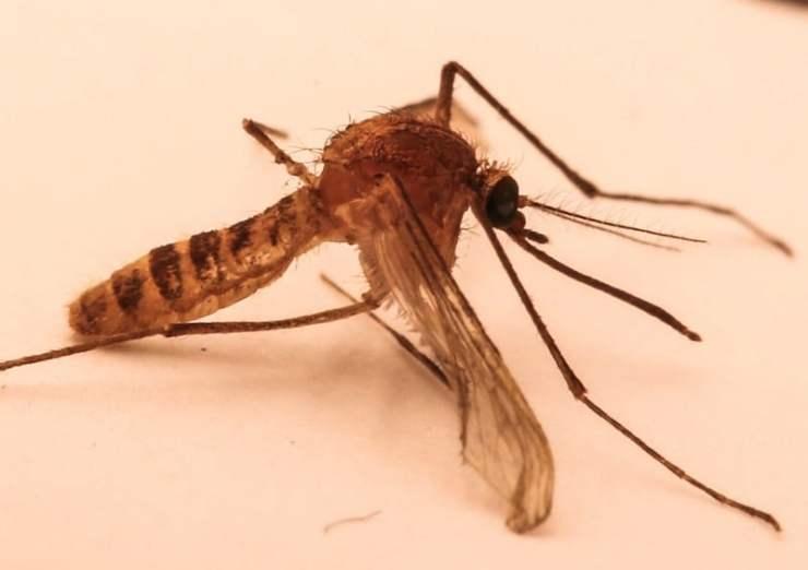 Mosquito del Metro de Londres