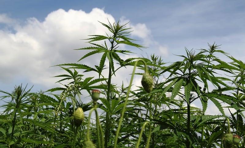 Un nuevo estudio teoriza que el cannabis comenzó a ser usado hace 10.000 años por los fundadores de la cultura occidental
