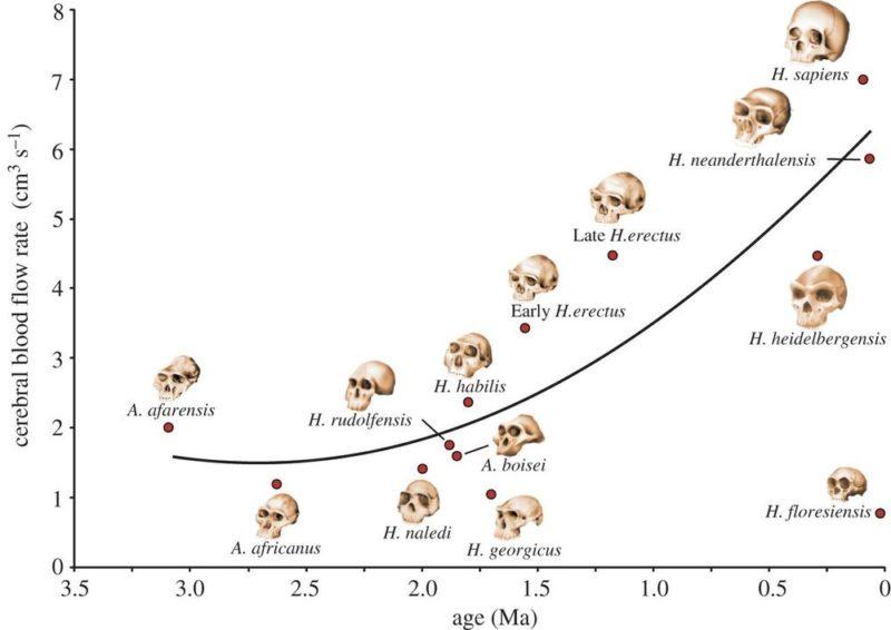 Índice de suministro de sangre al cerebro en relación a la edad geológica de los homínidos