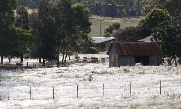 Miles de arañas cubren con sus telas un pueblo australiano