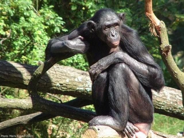 Los asombrosos Bonobos, simios como nosotros