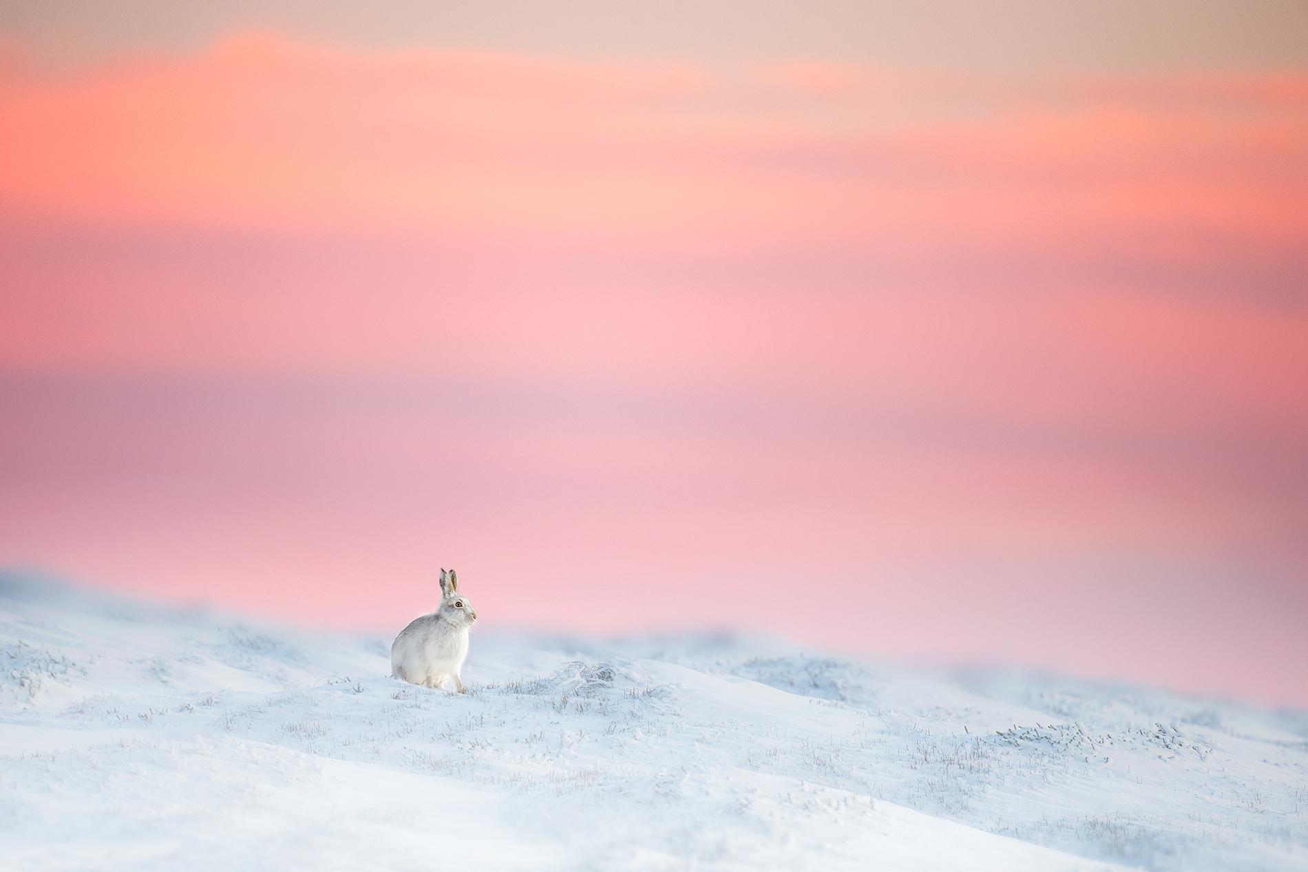 Mountain Hare at Dusk