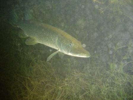Brochet lors de la plongée de nuit au lac du Bourget