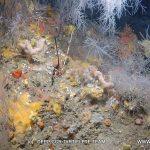 Plongée sur le Corail Noir de la Dorsale à Cavalaire