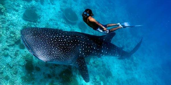 Plongée et snorkeling avec les requins-baleines