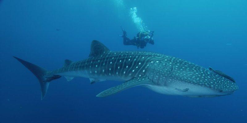 Plongée avec les requins baleine