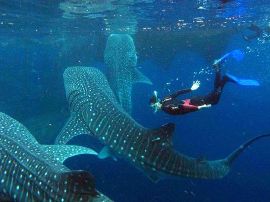 Plonger avec les requins baleines en Indonésie