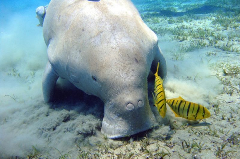 Plongée Dugong