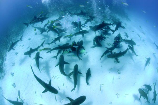 Plongée aux Bahamas avec les requins et Stuart Cove