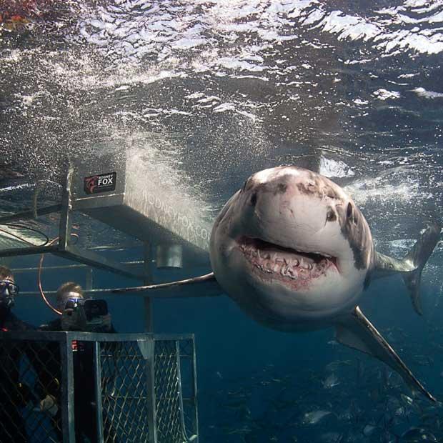 Plongée avec les grands requins Blancs en Cage