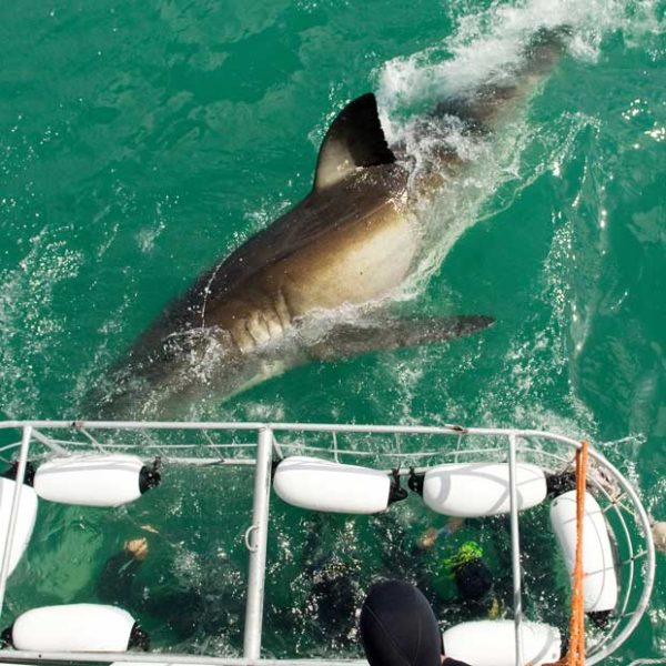 Plongée avec les grands requins blancs sure