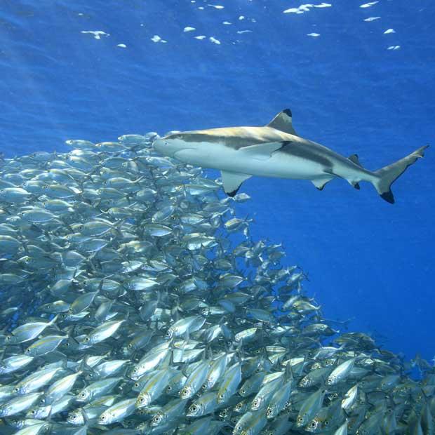 Plongée avec les requins sur mesure