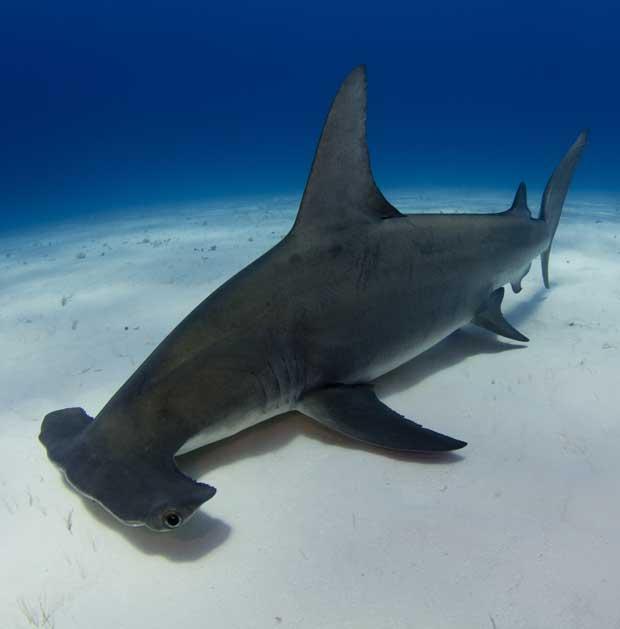 Plongée sur les requins marteaux