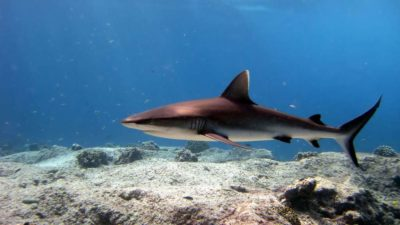 Vie sous-marine Requin