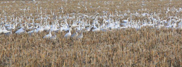 Surabondance oie blanche