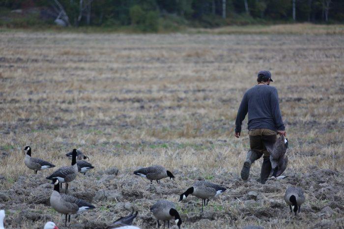 Récupération des bernaches du canada sur un territoire du Lac St-Jean