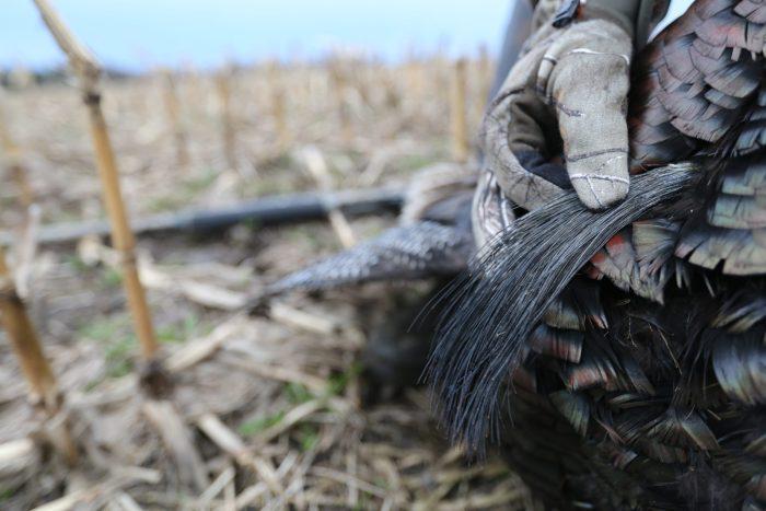 Chasse au dindon sauvage - Québec