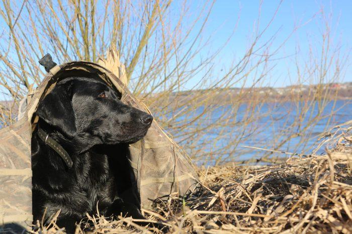 Tyson. Il s'agit d'un Labrador Noir - Chien raooirteur