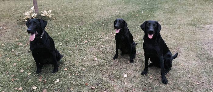 L'équipe de chien rapporteurs (Labrador noir) de la La Cache Outfitters