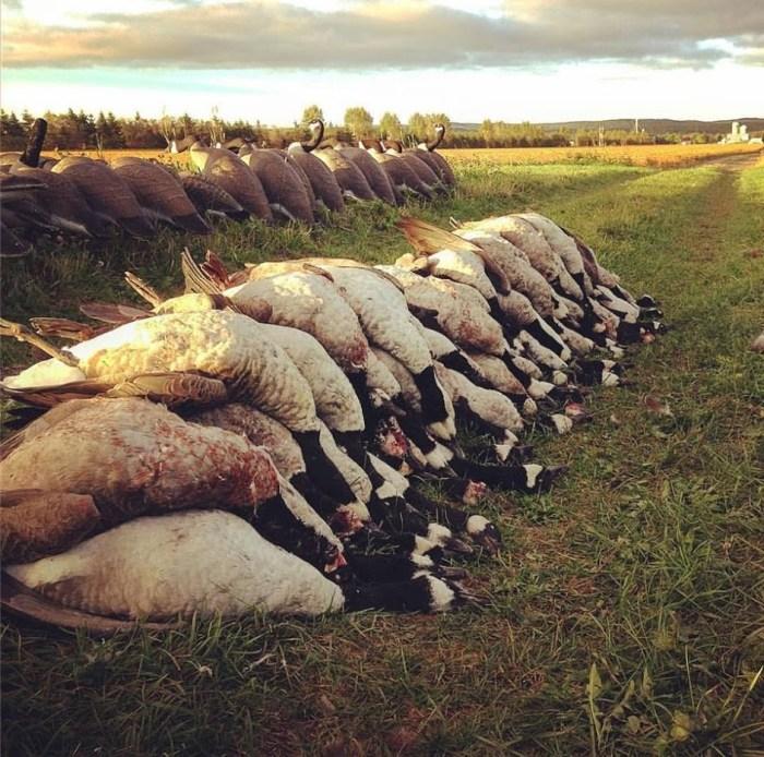 Tableau de chasse à la Bernache du Canada
