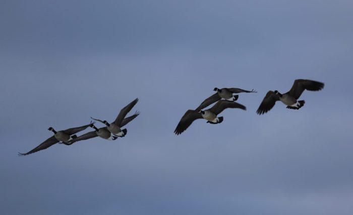 Bernache du Canada - Permis chasse aux oiseaux migrateurs au canada, Quebec