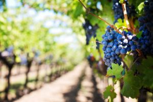 viñedo uva roja