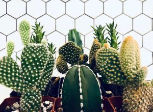 How to properly care for your cacti and succulents 02