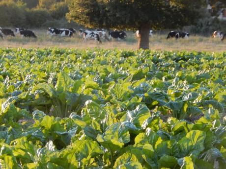le troupeau, le chêne, et les betteraves